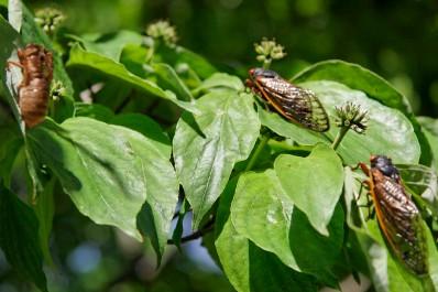 cicada_trio.jpg