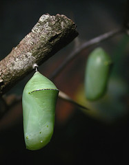 A recurring chrysalis