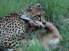 220px-Cheetah_with_impala