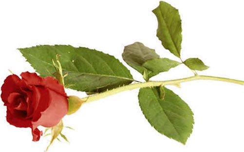 rose - Lovly Red Rose
