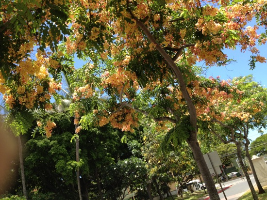 Rainbow shower tree, the University of Hawaii at Manoa