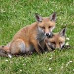 Red_Fox_(Vulpes_vulpes)_(4)