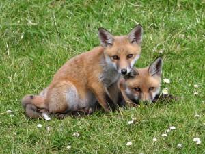 Red_Fox_(Vulpes_vulpes)_(4)