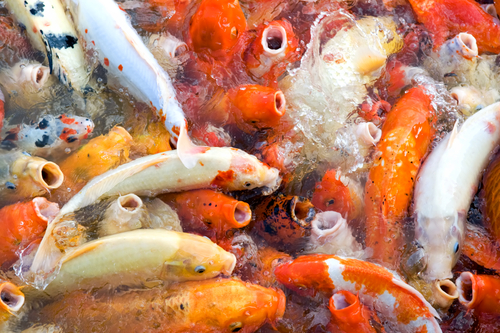 Image result for overstocked fish pond