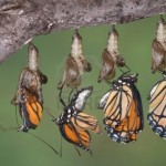 butterfly-viceroy-metamorphosis