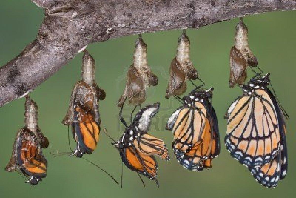 butterfly-viceroy-metamorphosis