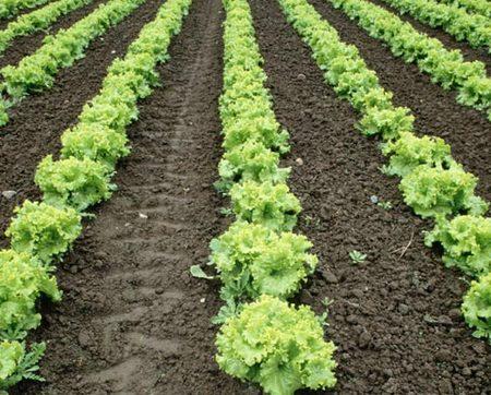 Lettuce garden.jpg