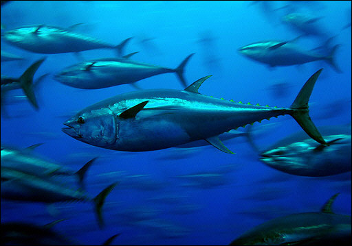 bluefin-tuna_greenpeace.jpg