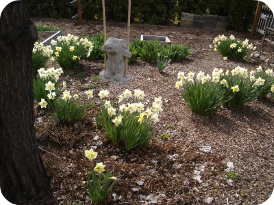 Daffodils, Rabbit