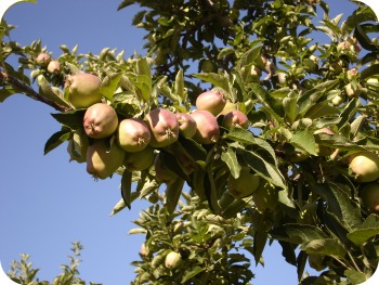 2011 apples 2