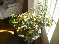 Kumquats 1