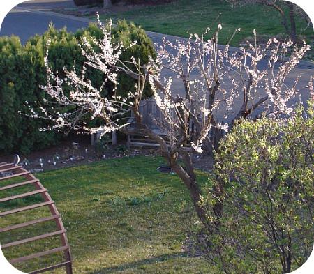 Apricot Blossoms 2013