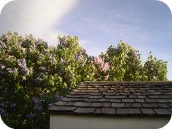 Lilacs 2013 # 1