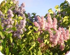 Lilacs 2013 #4