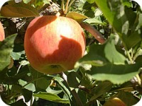 Apples #3 2013