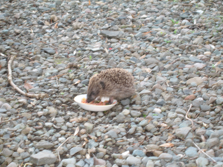 hedgehog eating.jpg